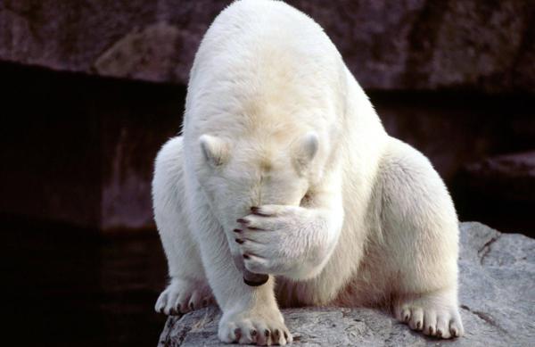 bearfacepalm.png